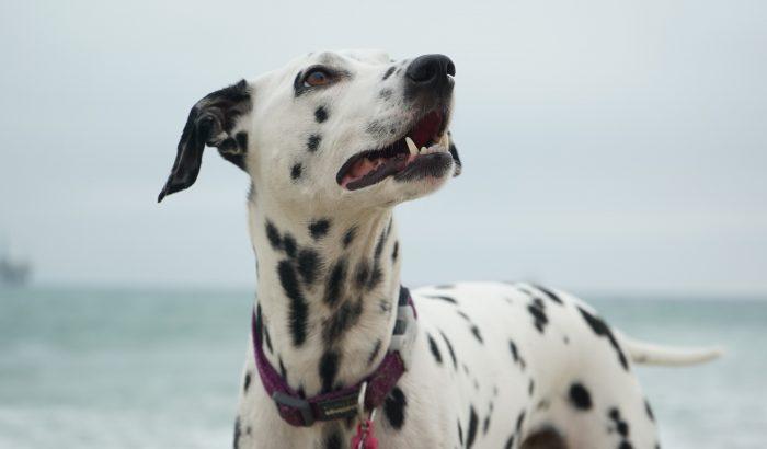 Dalmatától az uszkárig: ilyen kutyafajta illik az egyes csillagjegyekhez