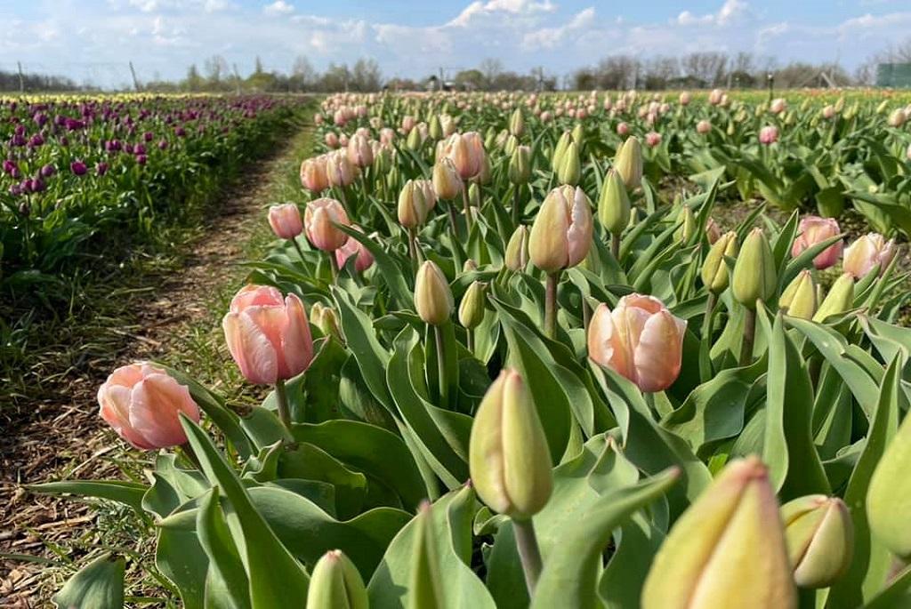 tulipan tulipanszedes tulipanoskert