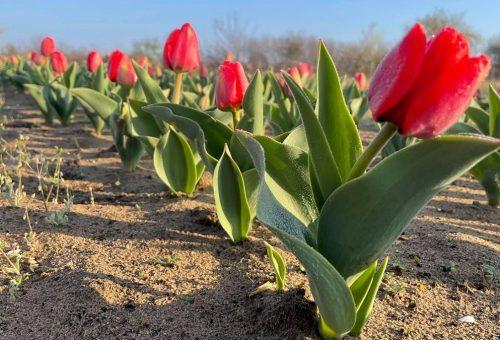 Virágba borultak és meseszépek a hazai tulipánmezők