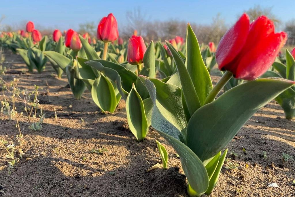 tulipan tulipanviragzas tulipanmezok