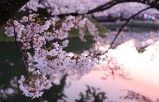 A klímaváltozás újabb jele: soha nem jött még ilyen korán a cseresznyevirágzás