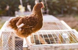 A csirke lesz az új kutya?!