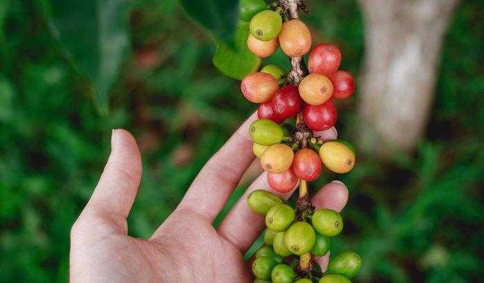 Cascara: a kávé, ami inkább tea